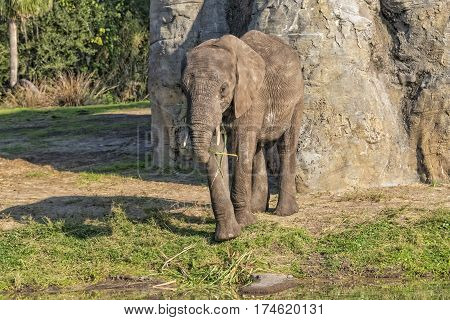 Baby African Elephant Eating Straw In The Afternoon