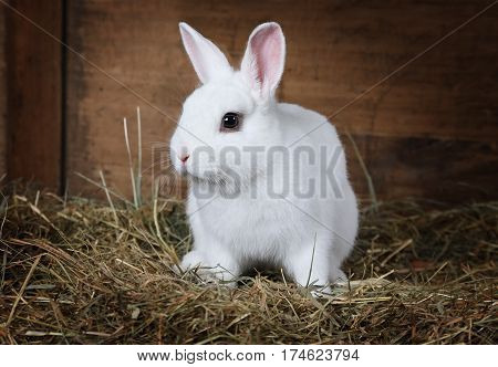 Lovable white fluffy rabbit sitting on straw indoors