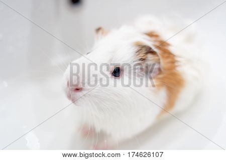 White guinea pig having a bath in a sink. Pet washing concept background