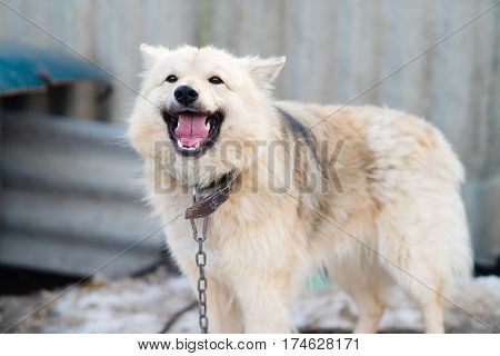 A dog on a chain mongrel with a white coat smiling