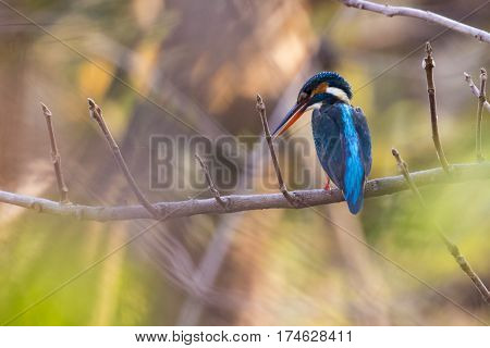 Image of bird Common Kingfisher (Alcedo atthis) perched on a branch on nature background.