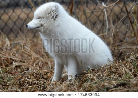An Arctic fox sitting in the grass