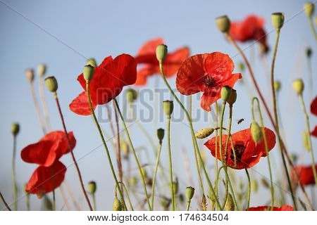 Red poppies and seed bolls on sky background