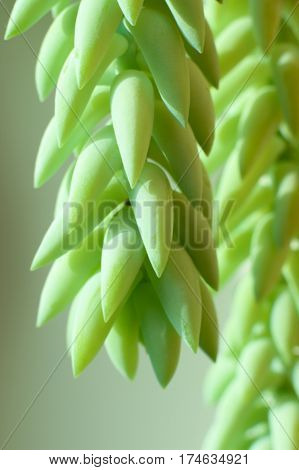 green plant, thick green needles of the plant, houseplant