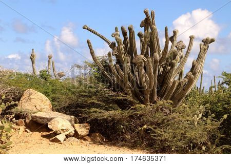 large cactus in an arid landscape with rocks