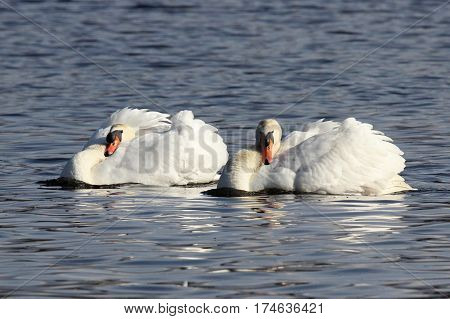 Two mute swans spinning in circles in a territorial rotation display towards other swans.