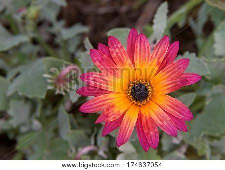 Single bloom Gazania Rigens Rare Sun Flower Bonsai Plant native to Africa. Vibrant magenta and yellow orange. poster