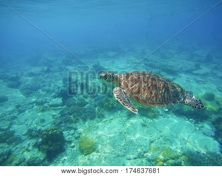 Sea turtle in turquoise blue water. Snorkeling or diving with tortoise. Wild green turtle in tropical lagoon. Sea environment with animals and seaweed. Vibrant turquoise blue water. Oceanic ecosystem