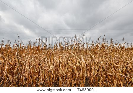 Dry corn field with the dramatic cloudy grey sky background. Yellow corn field at the end of the season and electric wires. Harvest