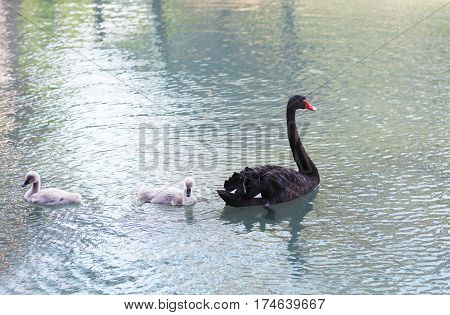 Black swans. Goose. Geese with young goslings on the lake. Bird swan bird goose. Swan family walking on the water. Swan bird with little swans. Swans with nestlings. Swan with chicks. Mute Swan