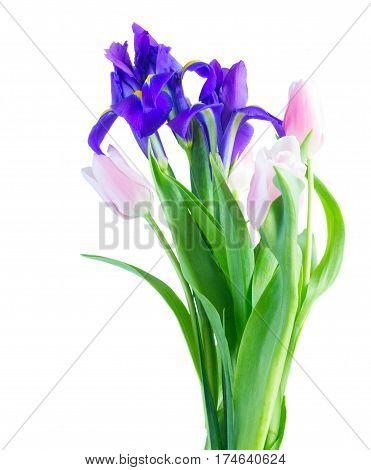 Blue irises and pik tulips isolated on white background