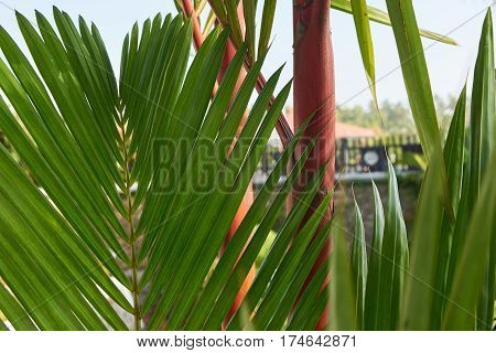 Red sealing wax palms with a pink trunk and bright green leaves