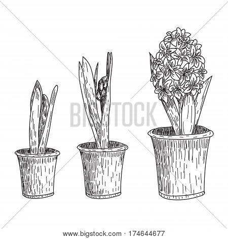Set of vector hand drawn line art flowers. Spring hyacinth, grape hyacinth, crocus ink drawings for easter decor, garden backgrounds, floral design