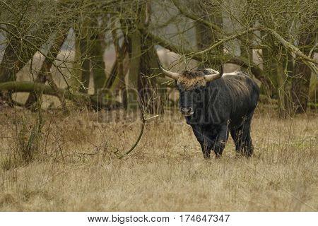 Aurochs animal Bos primigenius with large horns