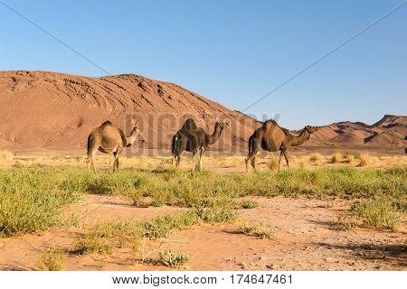 Three Arabian camels, Camelus dromedarius, walking in the landscape of Ouzina, Morocco.
