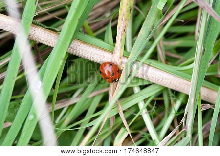 small red ladybird on green grass background