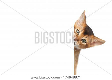 Curious Abyssinian Kitty Looking from sheet on Isolated White Background