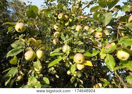 apple tree branches full of fruits closeup