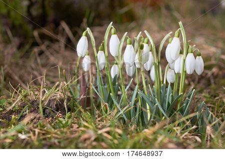 Snowdrop Green Grass