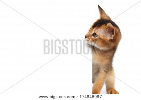 Curious Abyssinian Kitty Looking side on Isolated White Background
