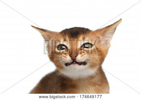 Portrait of Nasty Abyssinian Kitty smiling from ear to ear on Isolated White Background