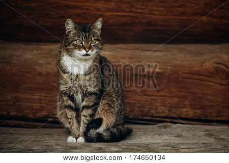 Cute Domestic Cat Sitting On Wooden Floor Near Rustic Slavic House, Funny Grey Cat Posing In Country