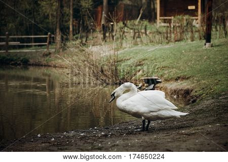 Beautiful White Swan Bird Standing Near Pond In National Wildlife Park, Swan Lake With A Wooden Hous