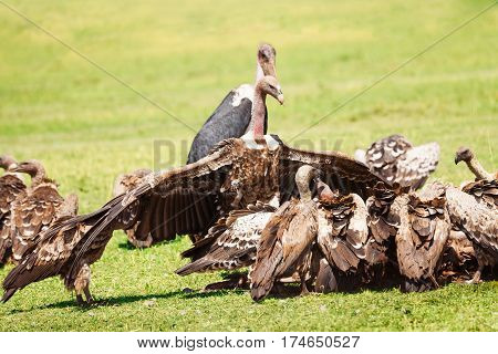 White-backed vultures crowding on kill carcass with marabou in the background