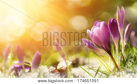 Purple crocus flowers in snow awakening in spring to the warm gold rays of sunlight