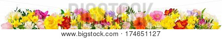 Flowers in cheerful colors studio isolated on white in banner format or as a seasonal natural border for spring and summer