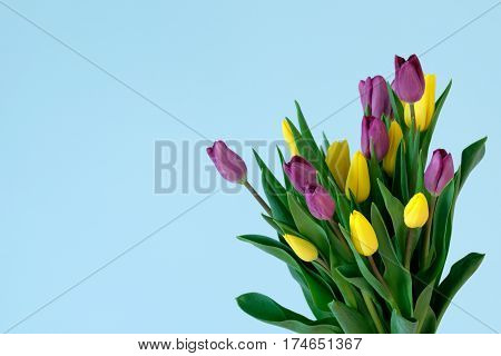 yellow and violett tulips on the right side ofl ight blue background. Easter March 8 valentines day mothers day copy space close up