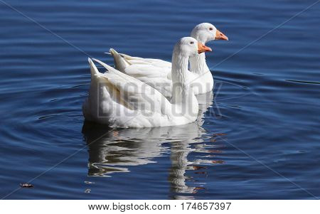 Two white geese swimming together on a pond