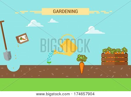 Plants Growing infographic with planting process of carrot. Four stages of growing.