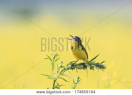 bird Wagtail flew on a summer flowering meadow clover and sings
