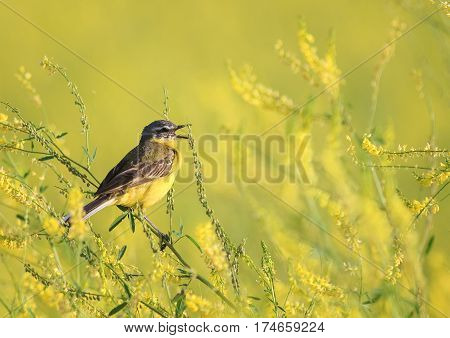 yellow bird Wagtail sitting on a flowered summer meadow clover and sings a song