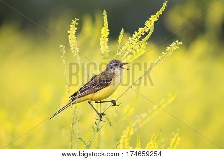 bird was a Wagtail came for a summer flowering meadow yellow clover and sings