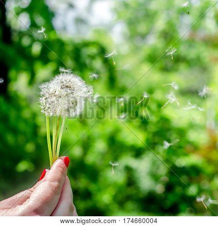 Blow Dandelion Close Up Plant, Green Grass Field