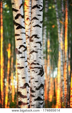 birch forest in sunlight in the morning
