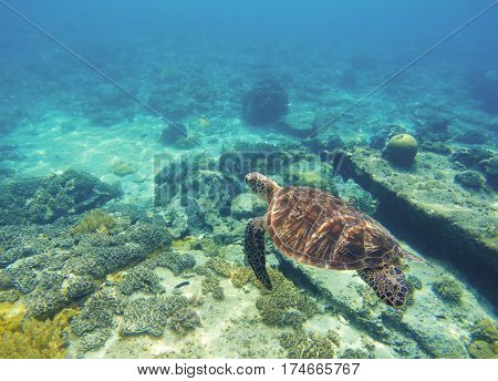 Underwater sea turtle close photo. Green tortoise in blue lagoon. Lovely sea turtle. Green turtle swimming in ocean. Snorkeling with animal. Tropical water life. Snorkeling with green turtle