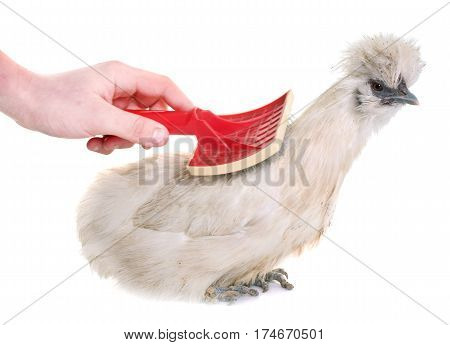 white silkie chicken grooming in front of white background