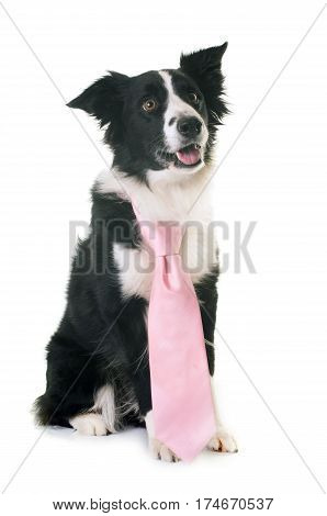 border collie wearing pink tie in front of white background