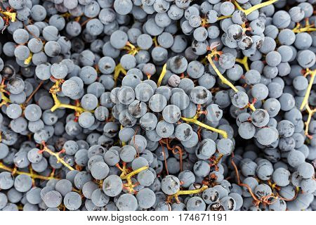 a lot of organic blue grapes background winemaking. Horizontal photo with free space area for text or design.