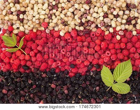 Various berries background. black mulberry, raspberry, white mulberry and raspberrys leaves