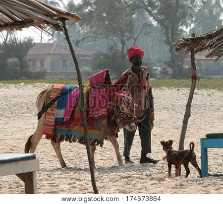 Goa, India - Feb 13, 2008: Indian Man With Holy Indian Cow Decorated With Colorful Cloth And Jewelry