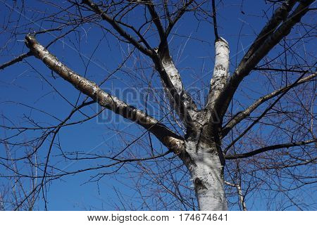 Branching Tree. Detailed And Naked Tree Branches