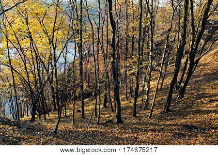 nice sunny autumn in yellow deciduous forest