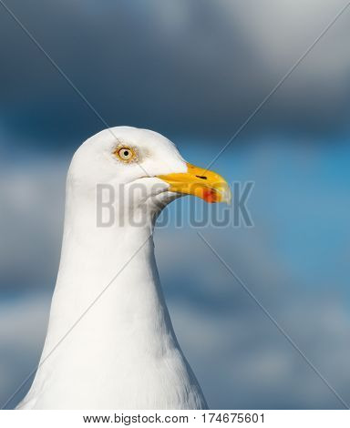 Seagull bird close up in St. Ives, Cornwall England.