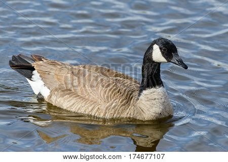 Migrating Canada Goose swimming in a lake.