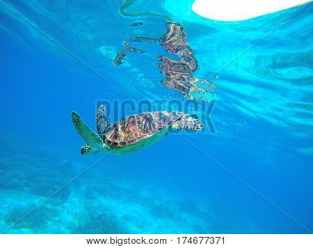 Sea turtle in blue water. Green turtle in wild nature. Sea tortoise diving to sea bottom. Turquoise blue seawater of tropical lagoon. Oceanic animal photo for card or banner. Snorkeling with turtle