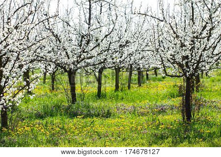 Beautiful plum tree orchard in spring blossom as season agriculture background in a dandelion and green grass meadow